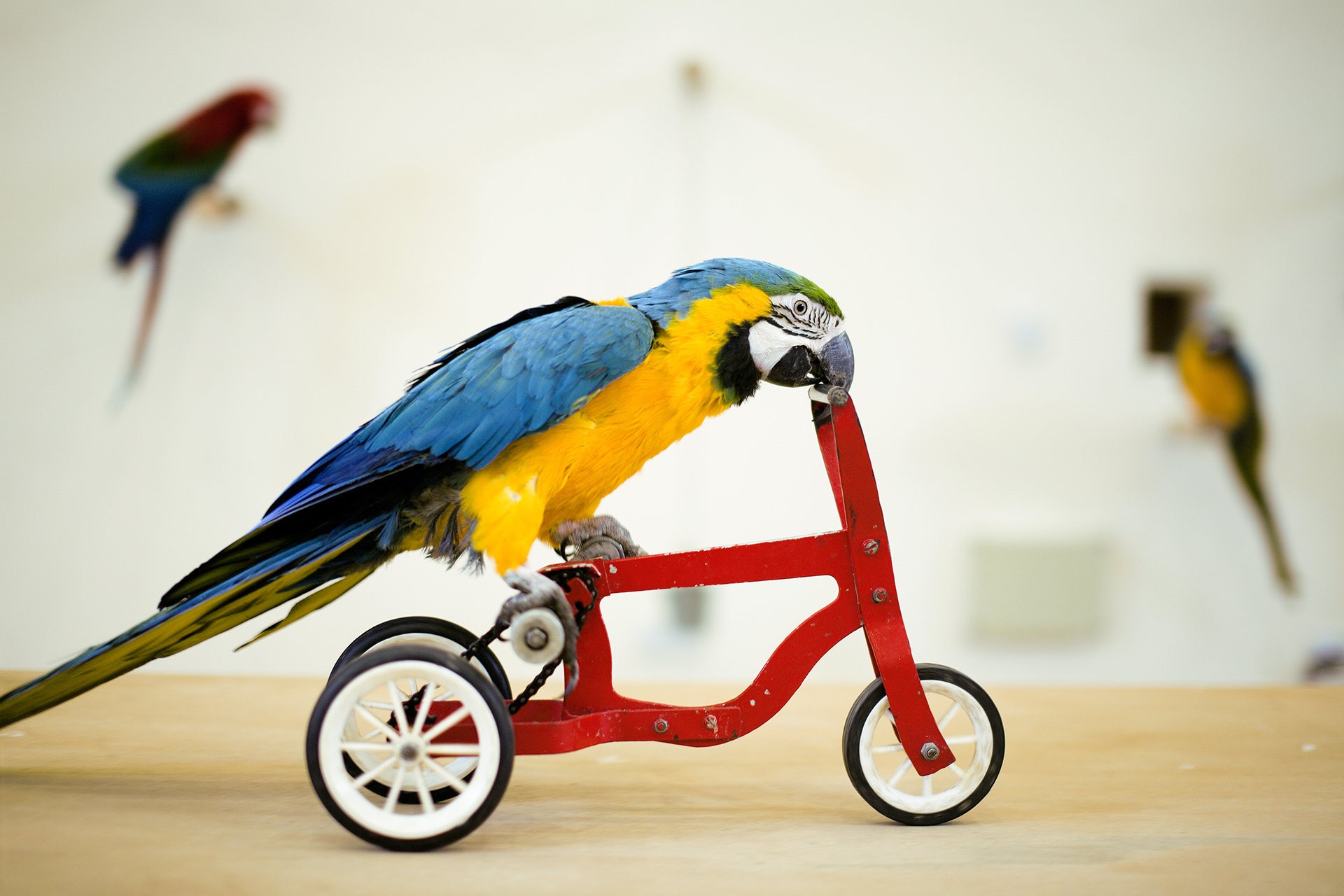 Colorful parrot riding on red bicycle